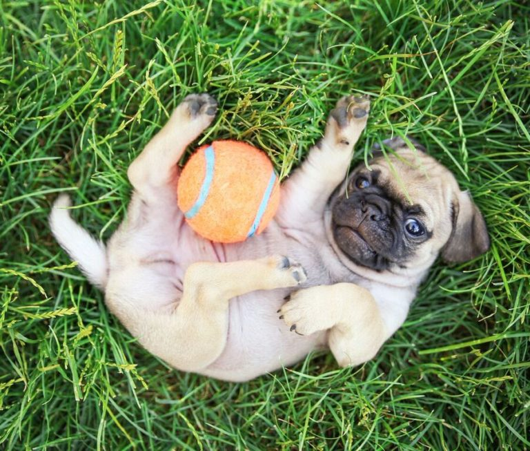 Dog on Back in Grass With Orange Ball